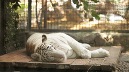 white tiger lying on its side in the afternoon at the zoo Live Action
