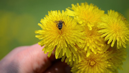 A Bee Is Searching For Pollen In A Bouquet Of Yellow Dandelions 3693 stock footage