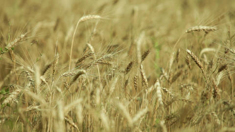 ears in a wheat field in the wind Footage