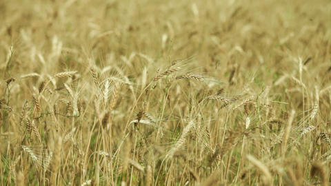 spikelets of wheat in the field Footage