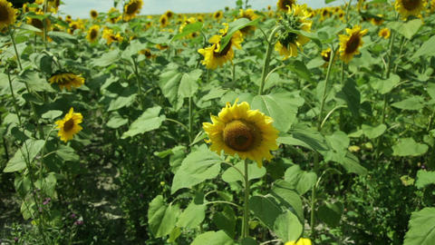 sunflower field in the wind in the afternoon Footage