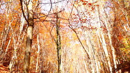 The camera pans-up from the grounds to a tall copper colored tree Footage