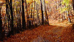 Path through forest, copper colored tree, falling leaves, windy time Footage