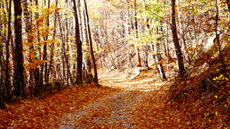 Path through forest, copper colored tree, falling leaves, sound Footage
