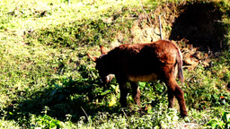 Donkey eating grass on a hill, walking donkey pasturing, grazing on grassland Footage