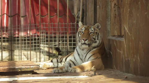Tiger lying on its side in a zoo day Live Action