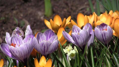 Bee pollen looking purple crocus flower 50 Footage