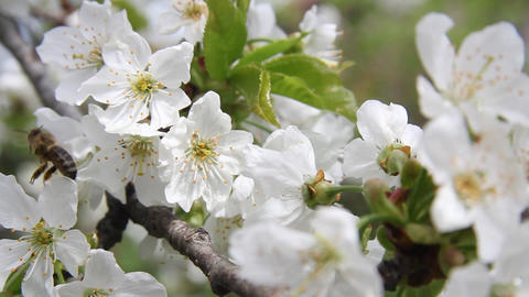 Bees gather pollen from white flowers of cherry 9795 Footage