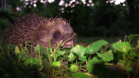 Hedgehog sniffing danger and then goes into the woods 24 Footage