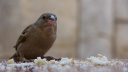 Sparrow Eat Bread On A Table In The Park 05 stock footage