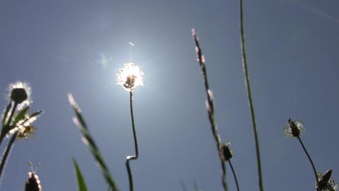 Sun seen through the tall grasses of the field bloom 85 Footage