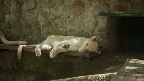 2516 White lion sleeping on the side of the zoo day Footage