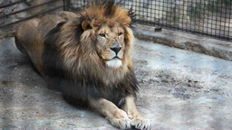 2521 old lion lying on his stomach in a zoo day Footage