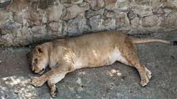2522 Lioness lying on its side in a zoo day Footage