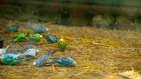 2526 lots of colorful budgies peck feed Footage