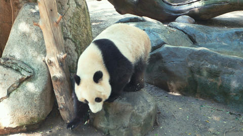 Panda C 4 K Stock Video Footage