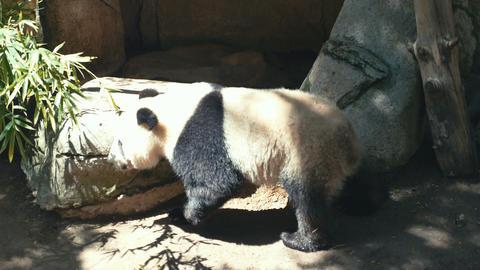 Panda C 4 K Footage