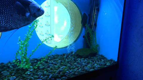 Big Monster Fish in Aquarium. Blue background. 4K UltraHD, UHD Footage