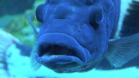 Big Blue Monster Fish in Aquarium. Blue background. 4K UltraHD, UHD Footage