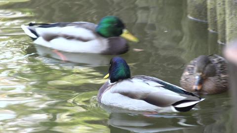 Ducks Floats with a Flock of Mallards on a Pond. 4K UltraHD, UHD Footage