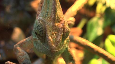 Macro Shot of a Veiled Chameleon's Eyes. 4K UltraHD, UHD Footage