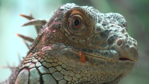 Close Up View Of Iguana. 4K UltraHD, UHD Footage