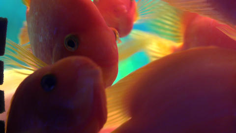 Many Cute Red Fishes in Aquarium. Blue background. 4K UltraHD, UHD Footage