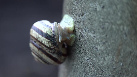 Slow Moving of Funny Snail on the Gray Background. 4K UltraHD, UHD Footage