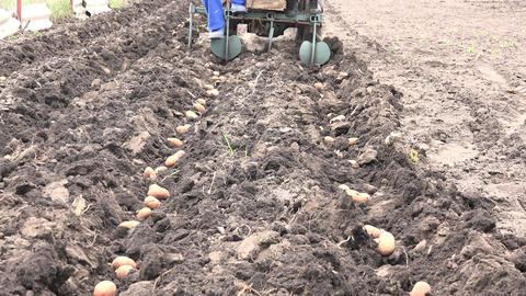 Motorized Seeding Process. Dropping of Potato. 4K UltraHD, UHD Footage