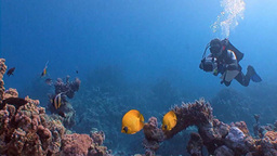 Underwater Videographer, Filming Lemon Butterfly Fish In The Red Sea stock footage