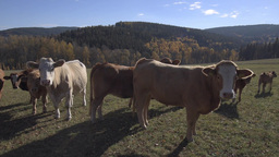 Autumn Sunny Pasture With Cows In Mountains stock footage