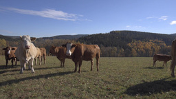 Herd Of Cattle In Mountains Autumn Pasture stock footage