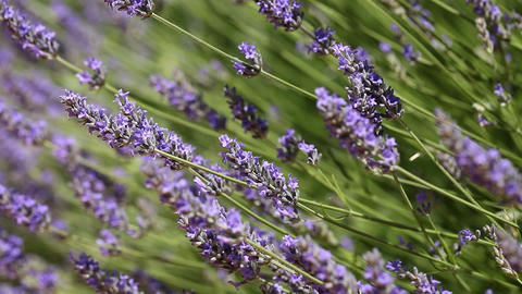 Purple Lavender Flowers Footage
