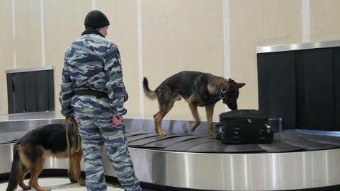 Service Dogs Looking For Drugs In The Luggage Of Passengers stock footage