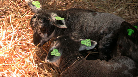 Sheep with their lambs resting in a barn Footage