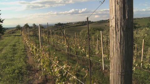 Vineyard In Summer In Italy (2) stock footage