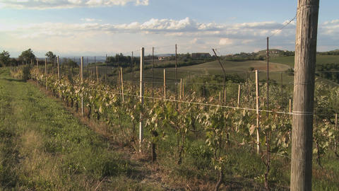 Vineyard In Summer In Italy (1) stock footage