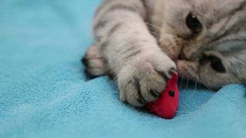 Cat playing with toy mouse Live Action