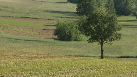 Green field with a lonely tree in rural landscape in summer Footage