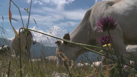 White cows eating grass in pasture with cow bells ringings in the Alps Footage