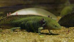 Axolotl. Mexican salamander. Ambystoma mexicanum Footage