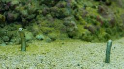Heteroconger hassi. Spotted garden-eels Footage