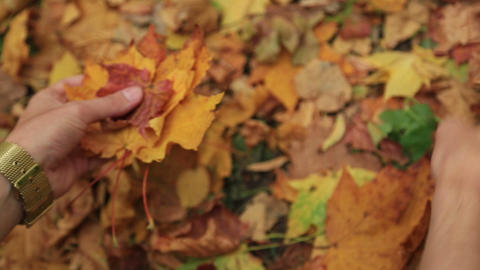 Man Collects Fallen Autumn Maple Leaves stock footage