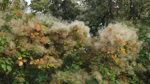 Smoke tree in botanical gardens Footage