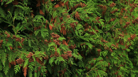 White cedar Thuja occidentalis Footage