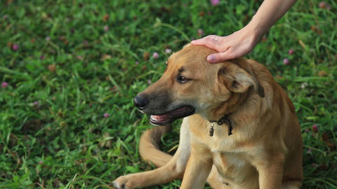 Female Hand Patting Dog Head stock footage