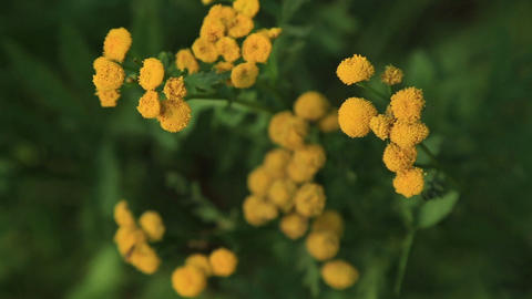 Tansy flowers, nature Footage