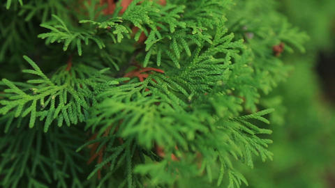 White cedar Thuja occidentalis Footage