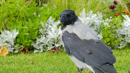 Corvus cornix. Hooded crow. Close up shot Live Action