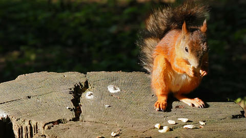 Squirrel sitting on a stump Stock Video Footage